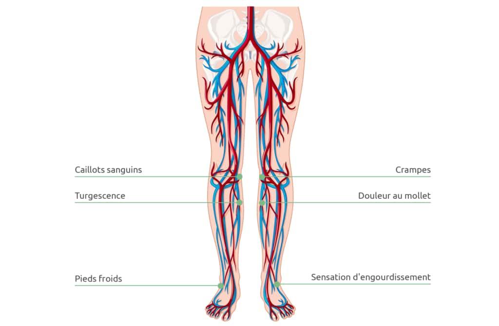 Représentation schématique de la circulation sanguine dans les jambes. Une mauvaise circulation provoque des jambes fatiguées.
